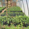 Citrus seedlings