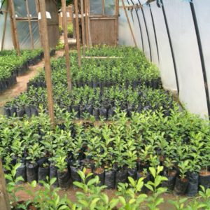 Citrus seedlings