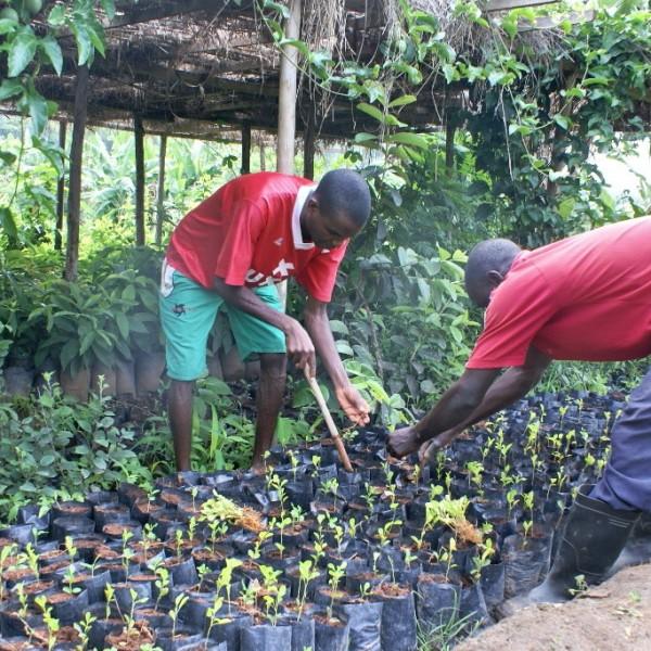 Transplanting lemon seedlings