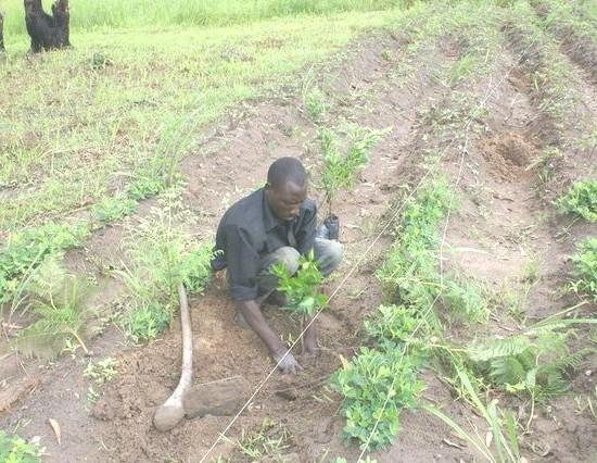 Planting Kunquot