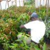 Grafting Mango 10thJan2015