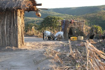 goats in the village