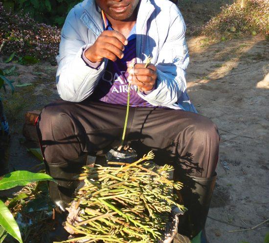 Adamson grafting Mango