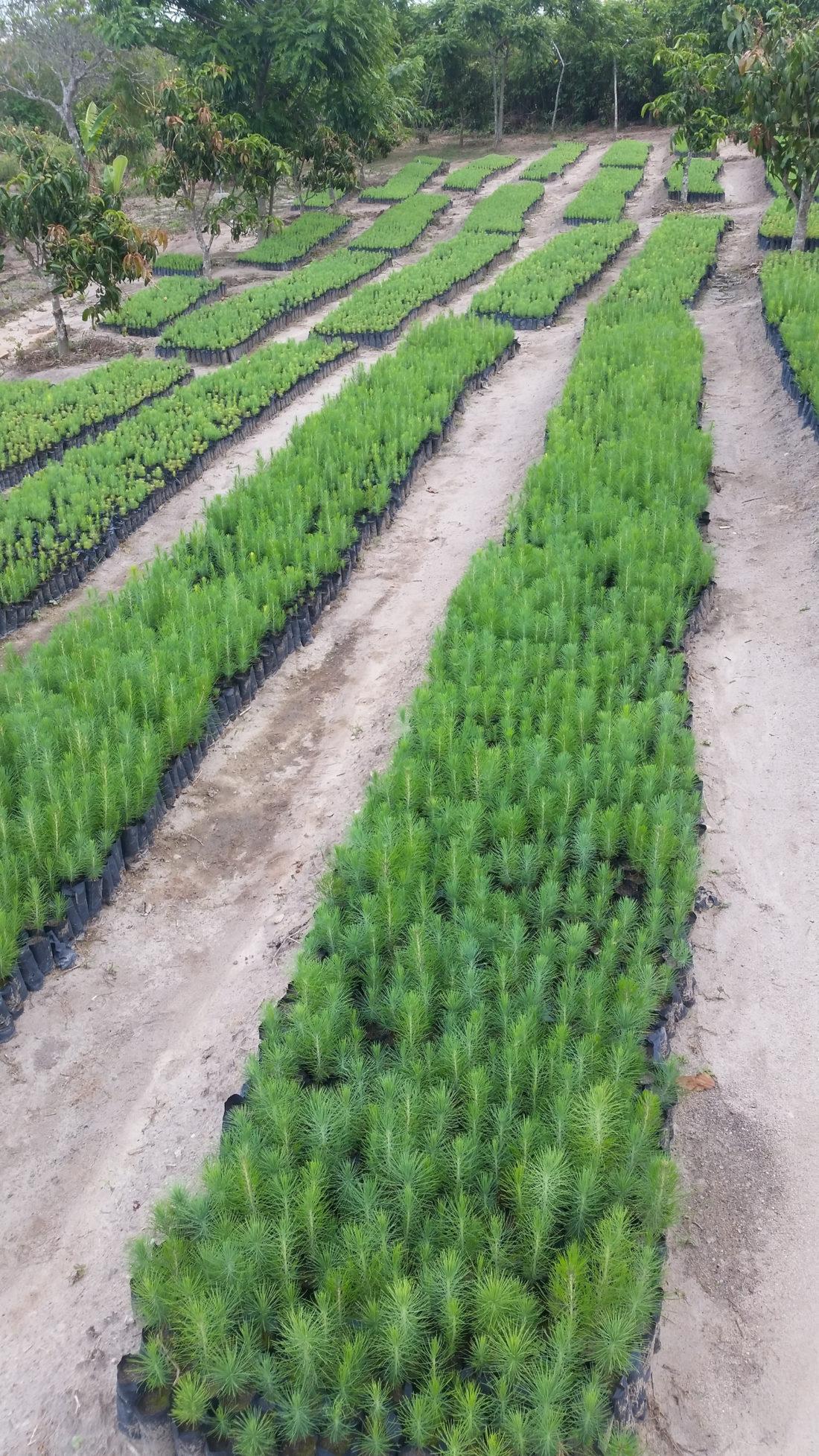 Lusangazi farm pine tree seedlings