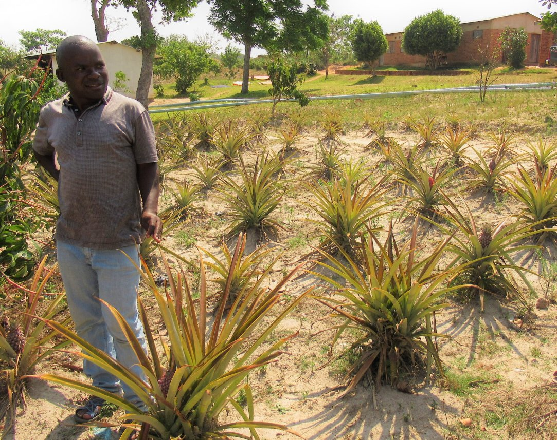 Pineapple Lusangazi Adamson