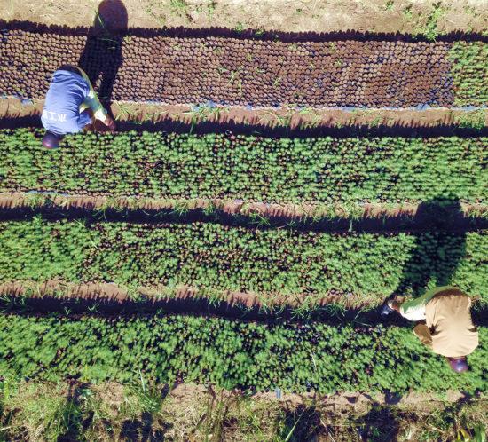 rows of seedlings at Lusangazi farm