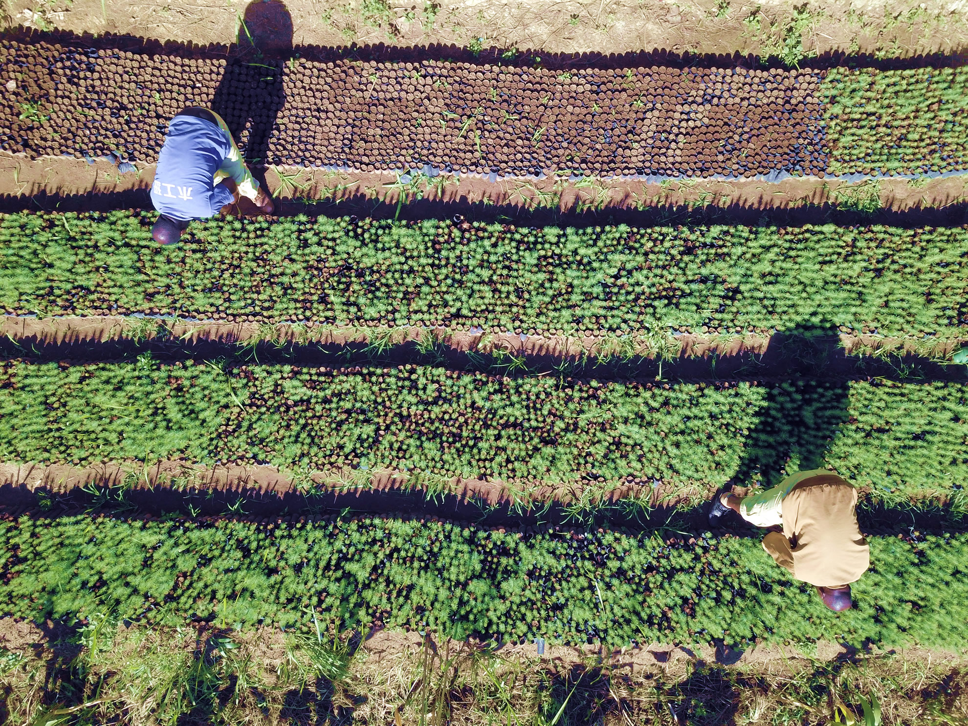 rows of seedlings at Lusangazi farm