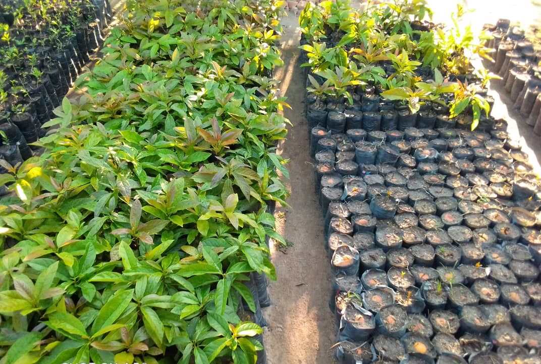 Mango at WfZ Lusangazi farm
