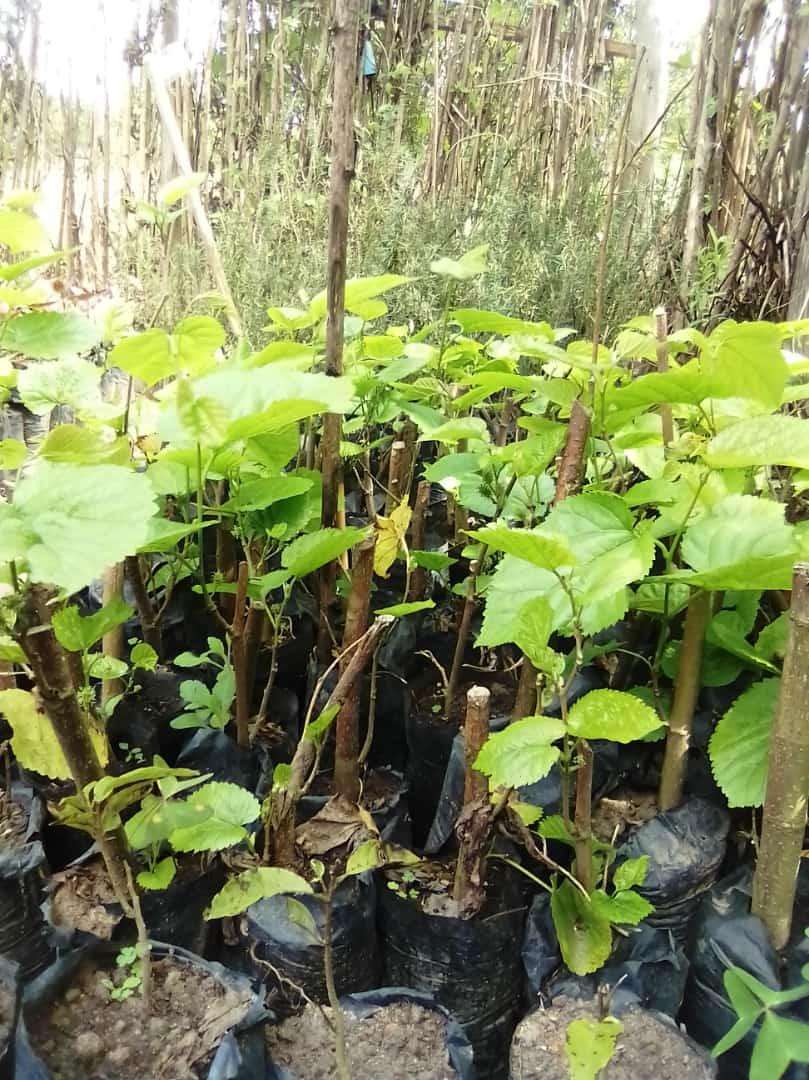 Mulberry at WfZ Lusangazi farm
