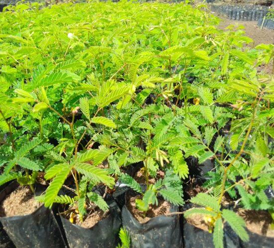 Kasera nursery seedlings