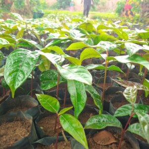 M'bawa (Khaya Nyasica) seedlings