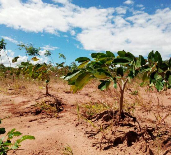 Msambafumu (Afzelia quanzensis) planted seedling