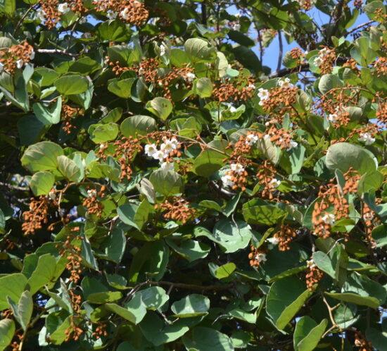 Msekese (Piliostigma thonningii) tree with seeds