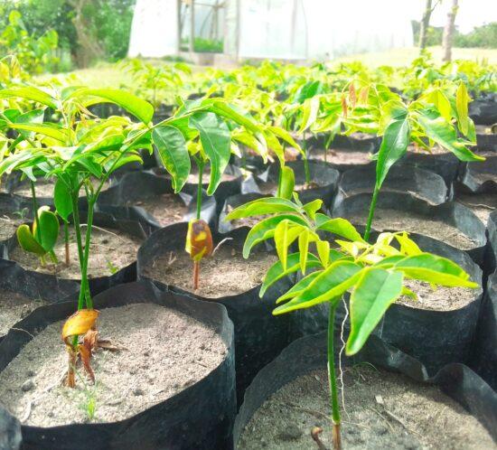 Mwabvi (Erythrophleum suaveolens) seedlings