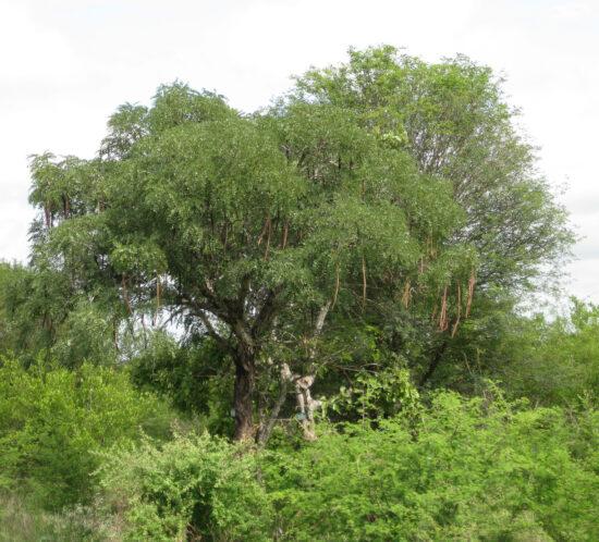 Casia abbreviata (Muwawani) tree