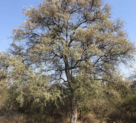 Combretum imberbe (Mkolong'onjo) tree