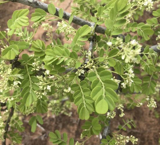 Dalbergia melanoxylon (Phingo) leaves & flowers