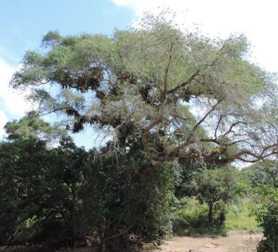 Faidherbia albida (Msangu) tree