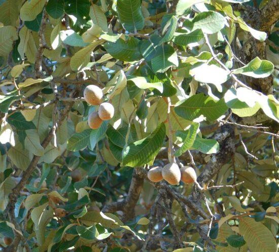 Parinari curatellifolia (Mbula) fruit & branches