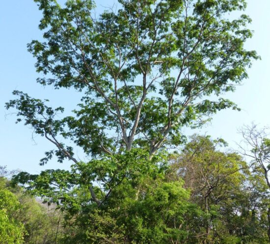 Parkia filicoidea (Mkundi) tree