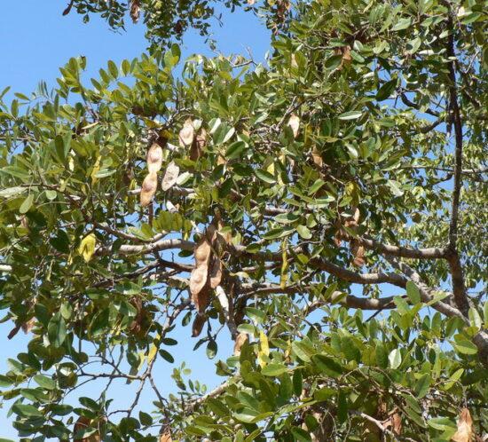 Pericopsis angolensis (Muwanga) seedpods