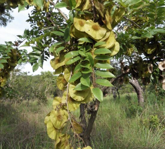 Pterocarpus angolensis (Mlombwa) leaves & seedpods