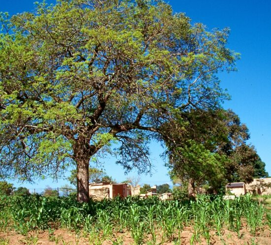 Sclerocarya caffra (Mfula) tree