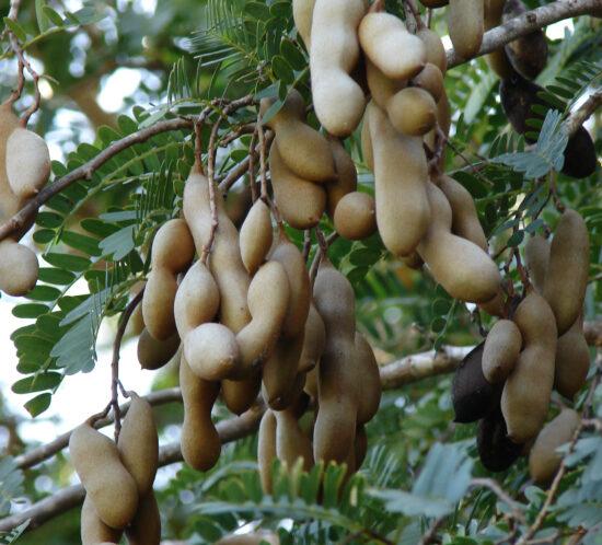 Tamarindus indica (Bwemba) fruit