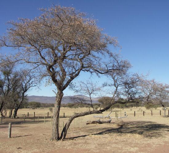 Terminalia Sericea (Naphini) tree