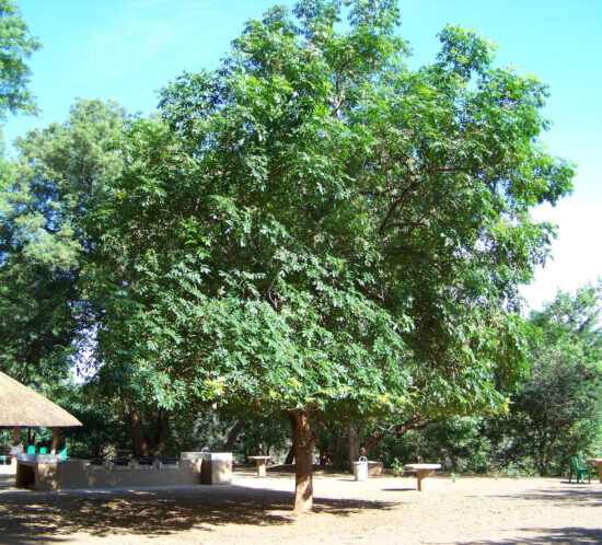Trichilia emetica (Msikidzi) tree