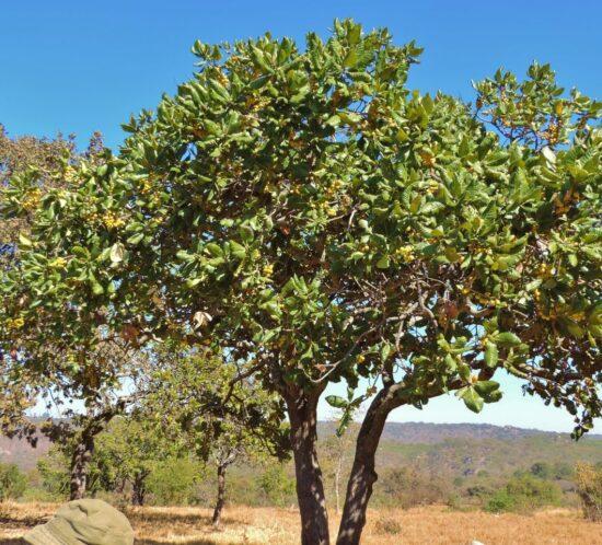 Uapaca kirkiana (Masuku) tree