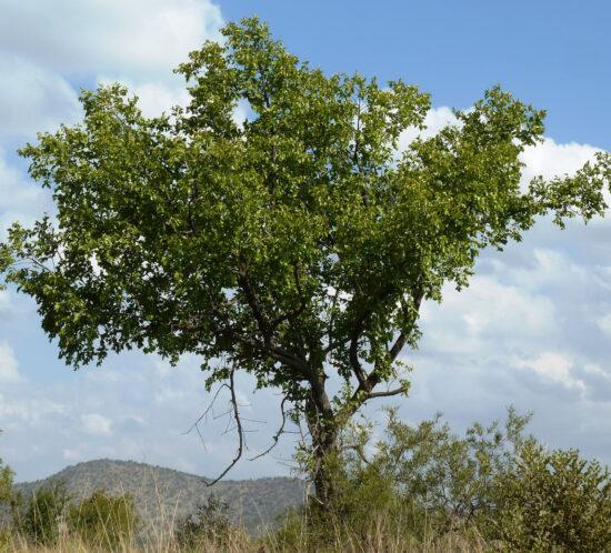 Ziziphus mucronata (Kankhande) tree